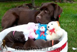 FCI-KIF ŞECERELİ safkan Labrador Retriever yavrular