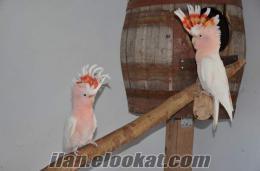 Satılık inca kakadu Major mitchell cockatoo