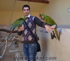 satılık bebek military macaw