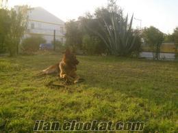 simba-k9 pozitif köpek Eğitim servisi Aydın Kuşadası köpek EĞİTİMİ VE PANSİYON