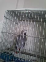 satılık jaco papağan***