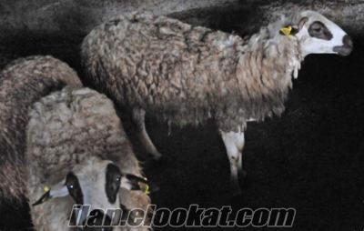 Satılık Sönmez koyunu sürüsü