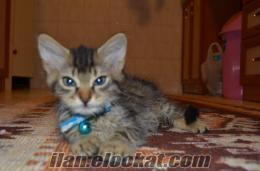 Izmirde Cok sevimli ve guzel kedimi vermek istiyorum