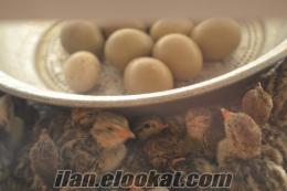 keklik sülün bıldırcın ve dıger kumes hayvanlarını ve yumurtaları bulunur