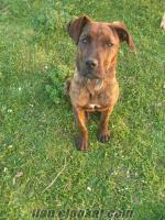 samsun ve eskişehirde satılık 4 aylık rodvaydır cinsi köpek