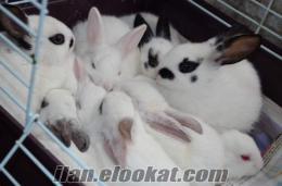 Yavru ve Damızlık tavşanlar