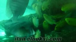 chicklet ciklet balık koloni körfez kocaeli satılık akvaryum boşaltıyorum