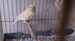 Sarı mozaikler, dişi erkek kanarya
