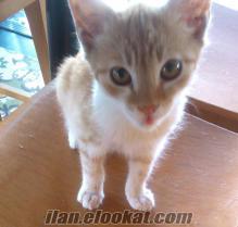 İstanbulda ücretsiz yavru sarman kedi