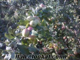 Burdur Yeşilova satılık elma