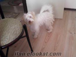 Ankara Esertepede terrier kız