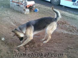 kahramanmaraş/elbistanda sahibinden satlık kurt köpeği