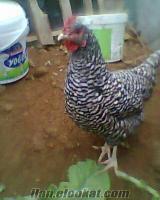sahibinden satlık playmut tavuk