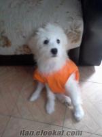 4 aylık maltese terrier erkek dünya tatlısı