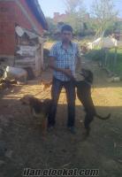 Balıkesir Dursunbeyden Satılık Av Köpeği