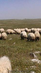 Tigem çıkması satılık iveysi koyun 350 adet