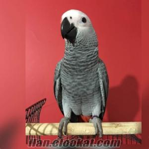 Jako papağan 6aylık