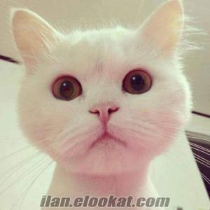Yavru İran-scottish fold-scottish british kedi arıyorum