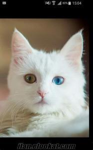 Erkek van kedisi arıyorum
