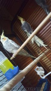 Satılık Çift Sultan Papağanı