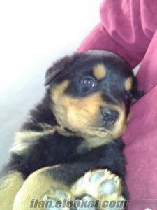 Adanadan satılık Rottweiler