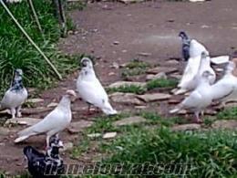 satılık tip güvercinleri