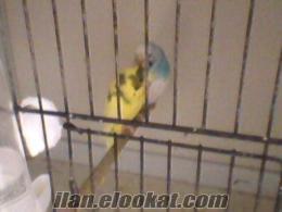 damızlık eş muhabbet kuşu