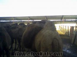 Eskişehirde satılık deve