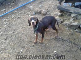 sahibinden satılık safkan av köpekleri