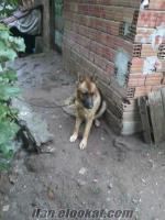 Gebzede k9 köpeği