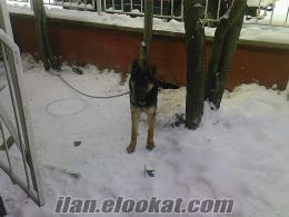 ankarada sahibinden k9 alman kurt köpeği