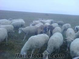 Satılık merinos kuzulu koyunlar