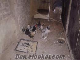 Kocaeli Darıcadan SatıLık Paçalık Tavuk-Horoz