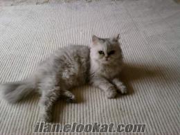 izmit kocaelinden yeni yawrulamış iran kedisi