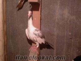 hatay-merkezde satlık güvercinler