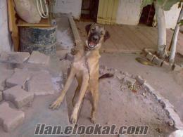 izmirde sahibinden satılık saf kangal köpeği
