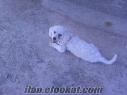 satılık kaniş cinsi süs köpeği