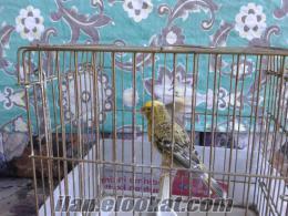 satılık lizard kanarya
