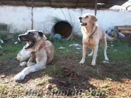 izmirde kangal cinsi safkan anadolu aslanı köpeğimiz için aynı cins dişi köpek