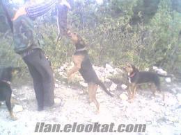 Av Köpeği SEKİHARMAN AVCILAR KULÜBÜ