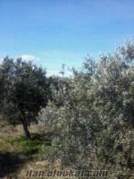 manisa akhisarda satılık zeytinlik 6500m