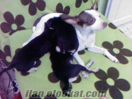 satılık pinçır yavru köpekler