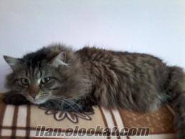 sahibinden satılık angora kedi