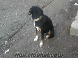 zonguldak tan satılık zaar köpeği