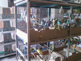 istanbulda komple satılık muhabbet kuşu üretimhanesi
