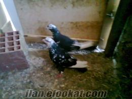 bursada satılık güvercinler