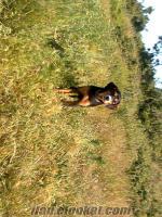 kayıp barak av köpeyi aranıyor