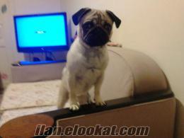 trabzondan satılık saf pug köpek
