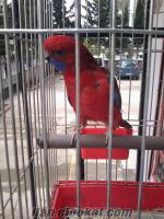 rozella papağan gayet sağlıklı adana içi kafesiyle birlikte 400 tldir