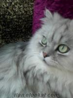 satılık chinchilla erkek kedi